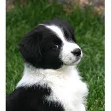 south dakota australian shepherd brunskill u0027s mini aussies miniature australian shepherd breeder in
