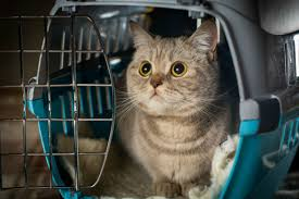 how to travel with a cat images Taking the stress out of travel with your cat killarney cat hospital jpg