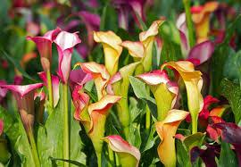 calla colors calla field stock photo image of park calla background