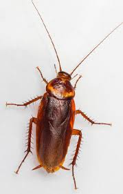 light brown roach looking bug identify roaches all pro pest management pest moisture control