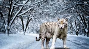 wallpaper wiki white tiger hd pictures pic wpe00131 wallpaper wiki