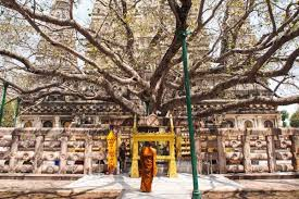the bodhi tree was a large and sacred fig tree ficus