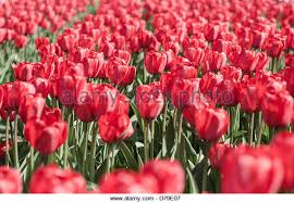 Flowers Boston - tulip flowers boston stock photos u0026 tulip flowers boston stock