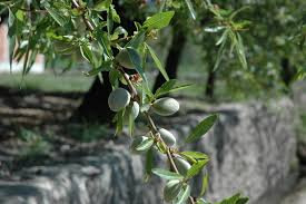 file almond tree jpg wikimedia commons