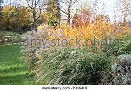 miscanthus sinensis kitten ornamental grass seed heads in