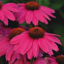echinacea flower echinacea echinacea seeds perennial flower seeds
