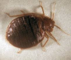 What Do Bed Bugs Eat Current Pest Control