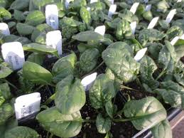 Texas Vegetable Garden Calendar by Year Round Vegetable Gardening In North Texas