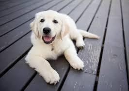 australian shepherd x golden retriever 5 smartest dog breeds chosen by veterinary professionals
