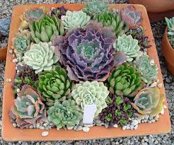 black gold late season succulents indoors or out