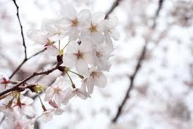 cherry wood branch tree free photo on pixabay