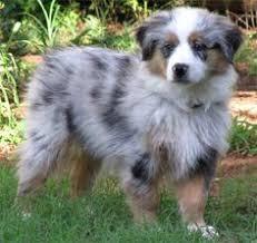 rockin b miniature australian shepherd i want one australian sheep dog add to the zoo pinterest