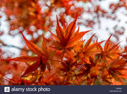 brightly colored orange and red leaves of japanese maple tree in