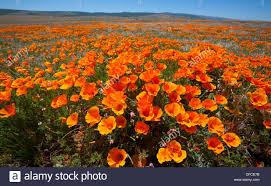 poppy field in the antelope valley california poppy reserve in