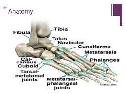 High Ankle Sprain Anatomy Ankle Sprain