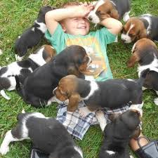 puppies indiana basset hounds for sale in indiana sandyhill basset hounds