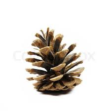 this photograph represent a pine fir tree cone on white background