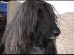 afghan hound king of dogs champion afghan hound headed for westminster dog show youtube
