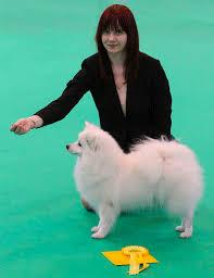 boxer dog crufts 2015 21 best pomeranian images on pinterest pomeranians dog lovers