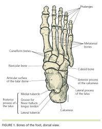 Calcaneus Anatomy Best 25 Ankle Anatomy Ideas On Pinterest Foot Anatomy Ankle