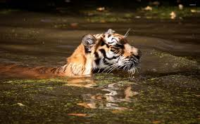tiger swimming in water wallpaper wallpapers 49476