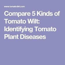 Tomato Plant Wilt Disease - best 25 tomato plant diseases ideas on pinterest tomato