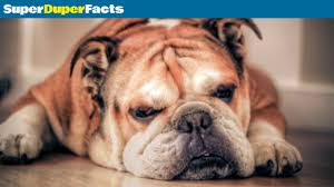 boxer dog pros and cons english bulldog facts dog 101 breed information health and