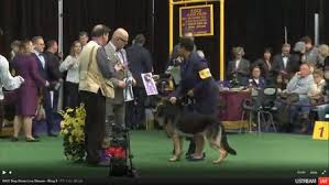 westminster bluetick coonhound 2016 westminster kennel club 2016