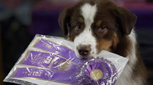 westminster australian shepherd 2014 observations from a day at the westminster kennel club dog show