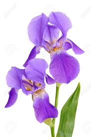 Iris by Bearded Iris Images U0026 Stock Pictures Royalty Free Bearded Iris