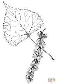 cottonwood tree leaf coloring page free printable coloring pages