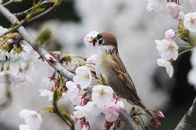 cherry blossoms a big hit for birds in qingdao city 1 chinadaily
