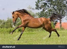 Nice Hourse Nice Arabian Horse Running Stock Photo 87869137 Shutterstock