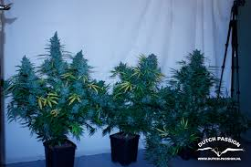 tundra tundra auto flowering cannabis seeds buy safely from dutch passion