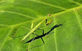 Mantis Meme - meme maker praying mantis generator