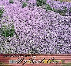 10 000 x creeping thyme herb seeds thymus
