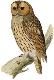 printable pictures of owls wallpaper download cucumberpress com