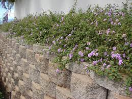 native texas plants for shade lantana montevidensis trailing lantana weeping lantana
