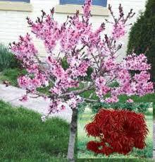bonfire ornamental flowering trees stark bro s