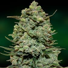 scout cookies scout cookies weed grow marijuana com
