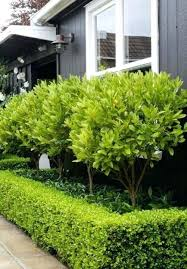 small evergreen tree for front garden small trees for front