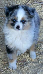 australian shepherd dog puppies toy australian shepherd poodle dogs puppies for sale miniature