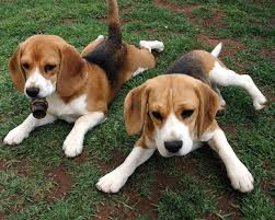 Black And Tan Beagles Beagle Puppies Pictures Facts Diet Habitat Behavior