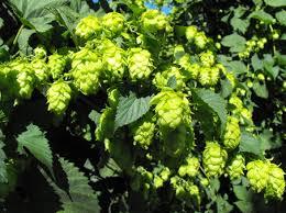 ornamental hops the wombles patch 2014