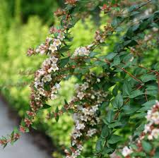 ten dwarf shrubs that will change the way you garden