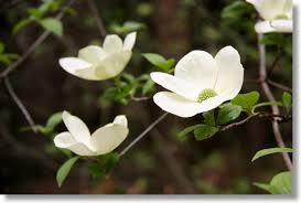 white flowering dogwood mountain dogwood and yosemite sky