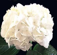 hydrangea white order wholesale jumbo white hydrangea wedding flowers