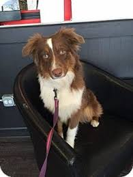 australian shepherd adoption german shepherd dog australian shepherd mix dog for adoption in
