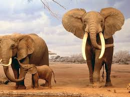 elephant family in the dessert hd wild animal wallpaper download