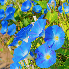 morning glory heavenly blue wildflower seed untreated the
